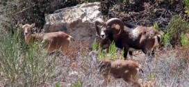 mufloni contrasto conigli parco arcipelago toscano isola del giglio giglionews