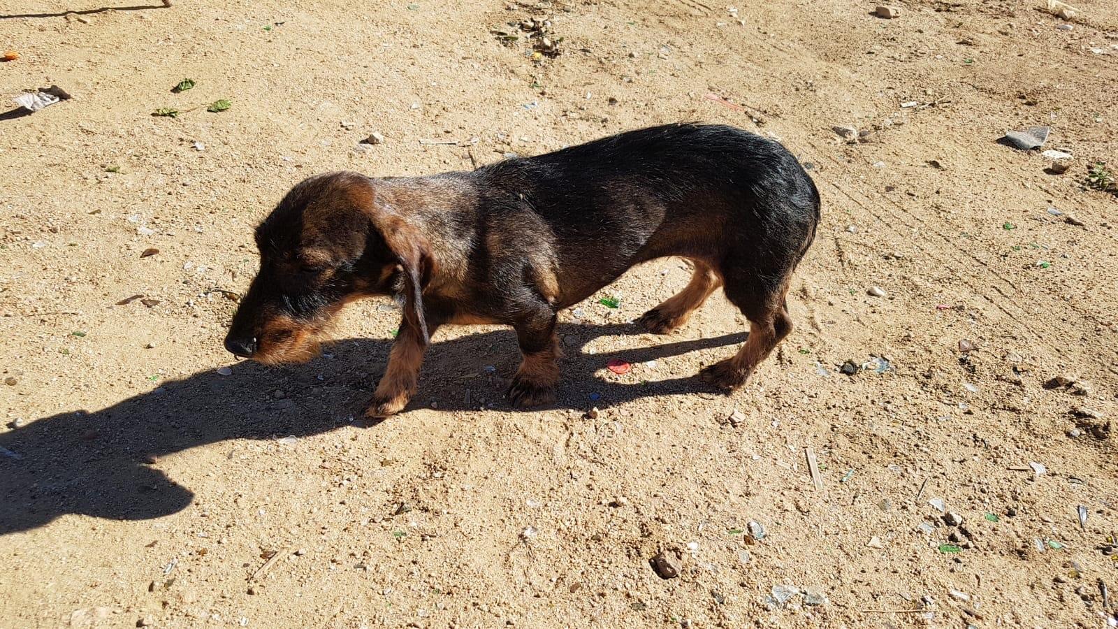 cane smarrito isola del giglio giglionews