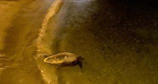tartaruga marina spiaggia scalettino isola del giglio giglionews