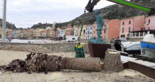 abbattimento palme isola del giglio porto giglionews