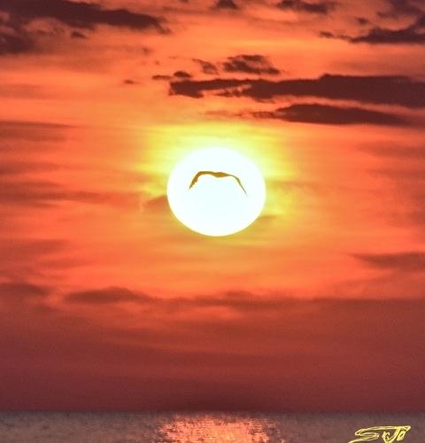 gabbiani arpa celtica isola del giglio giglionews