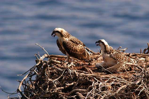 coppia falco pescatore parco arcipelago toscano isola del giglio giglionews capraia