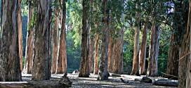 taglio eucalyptus capomarino cannelle isola del giglio giglionews
