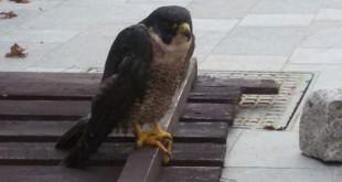 salvataggio falco pellegrino isola del giglio giglionews