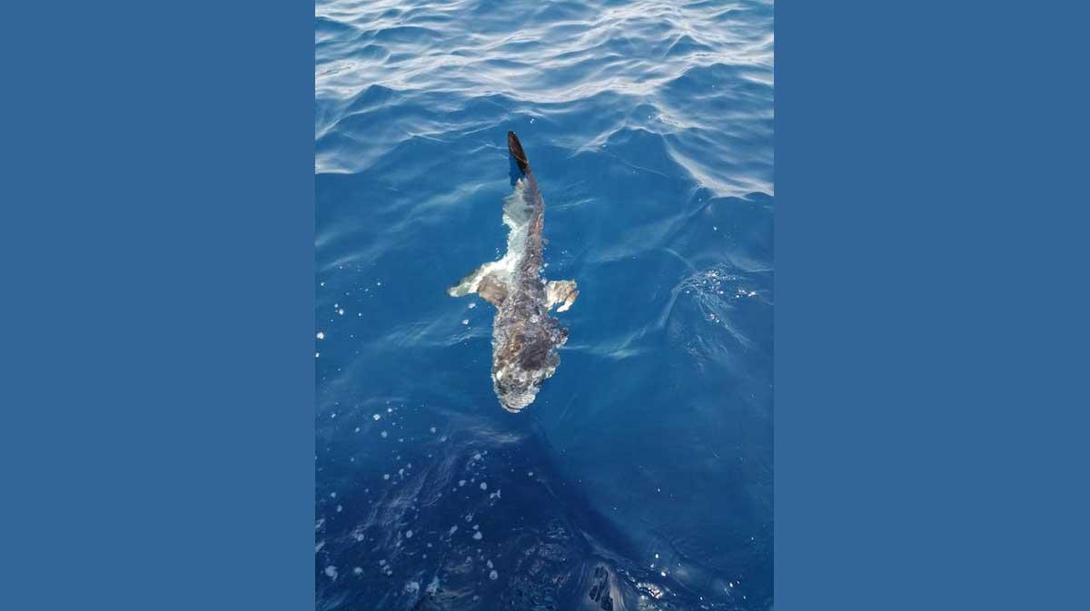 foto squalo pesce luna isola del giglio giglionews