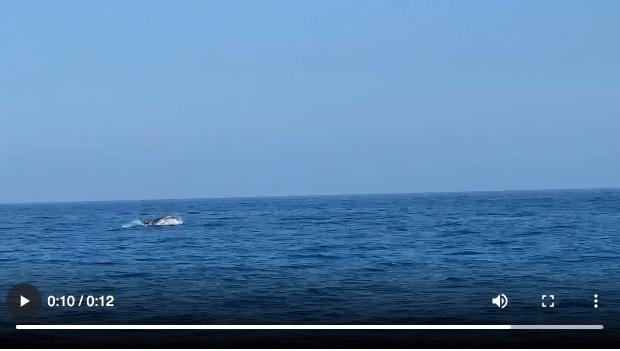 video delfini isola del giglio porto giglionews