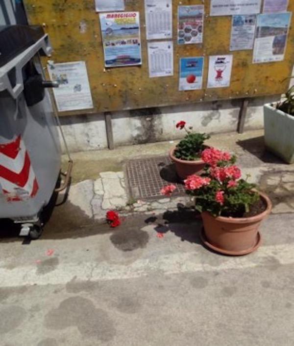 fiori geranei pro loco isola del giglio giglionews