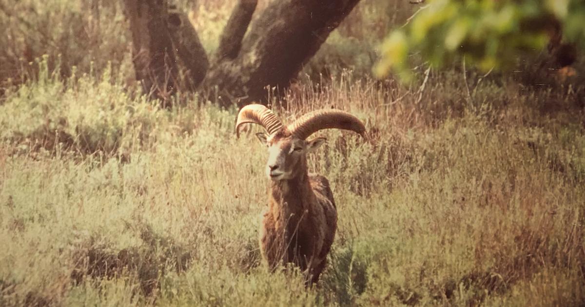 muflone mufloni masseti isola del giglio giglionews