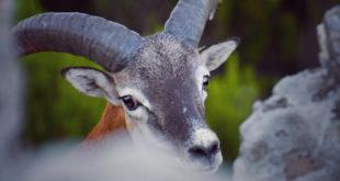 muflone mufloni parco arcipelago toscano isola del giglio giglionews