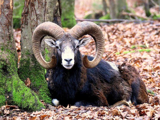 sterminio mufloni isola del giglio giglionews