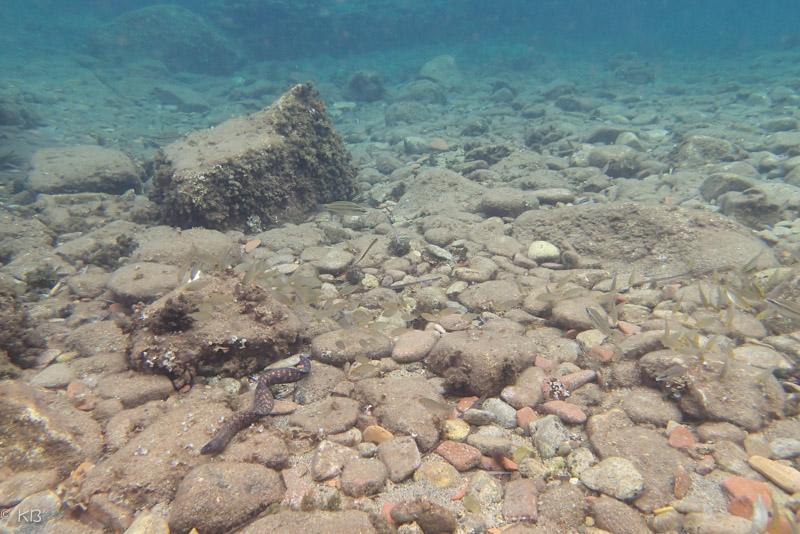 murene saraceno isola del giglio giglionews
