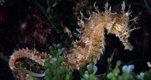 cavalluccio marino parco arcipelago toscano eudi isola del giglio giglionews