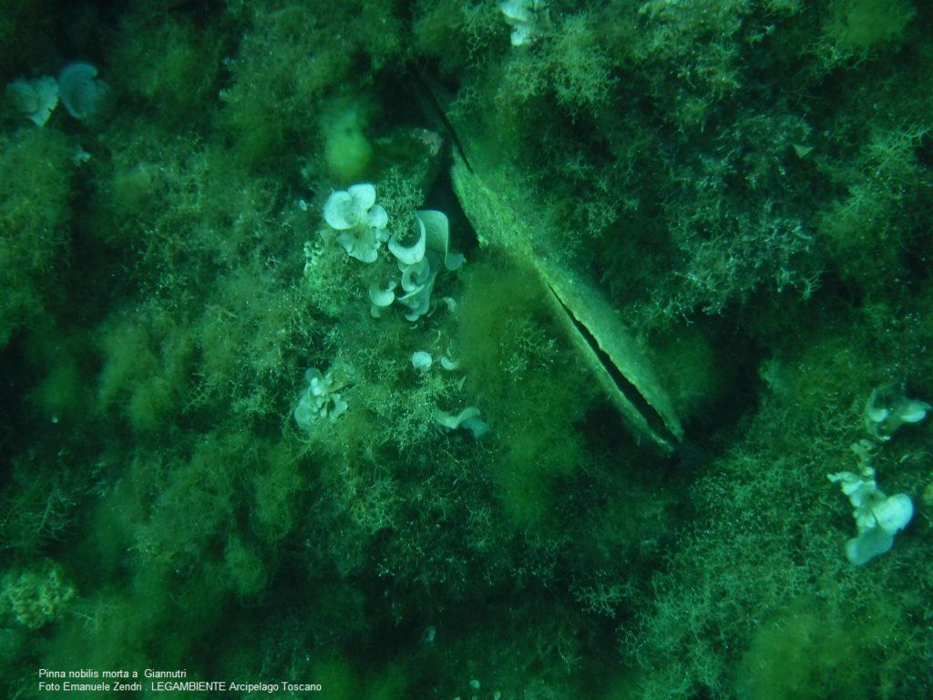 pinne nobilis legambiente arcipelago toscano isola del giglio giglionews