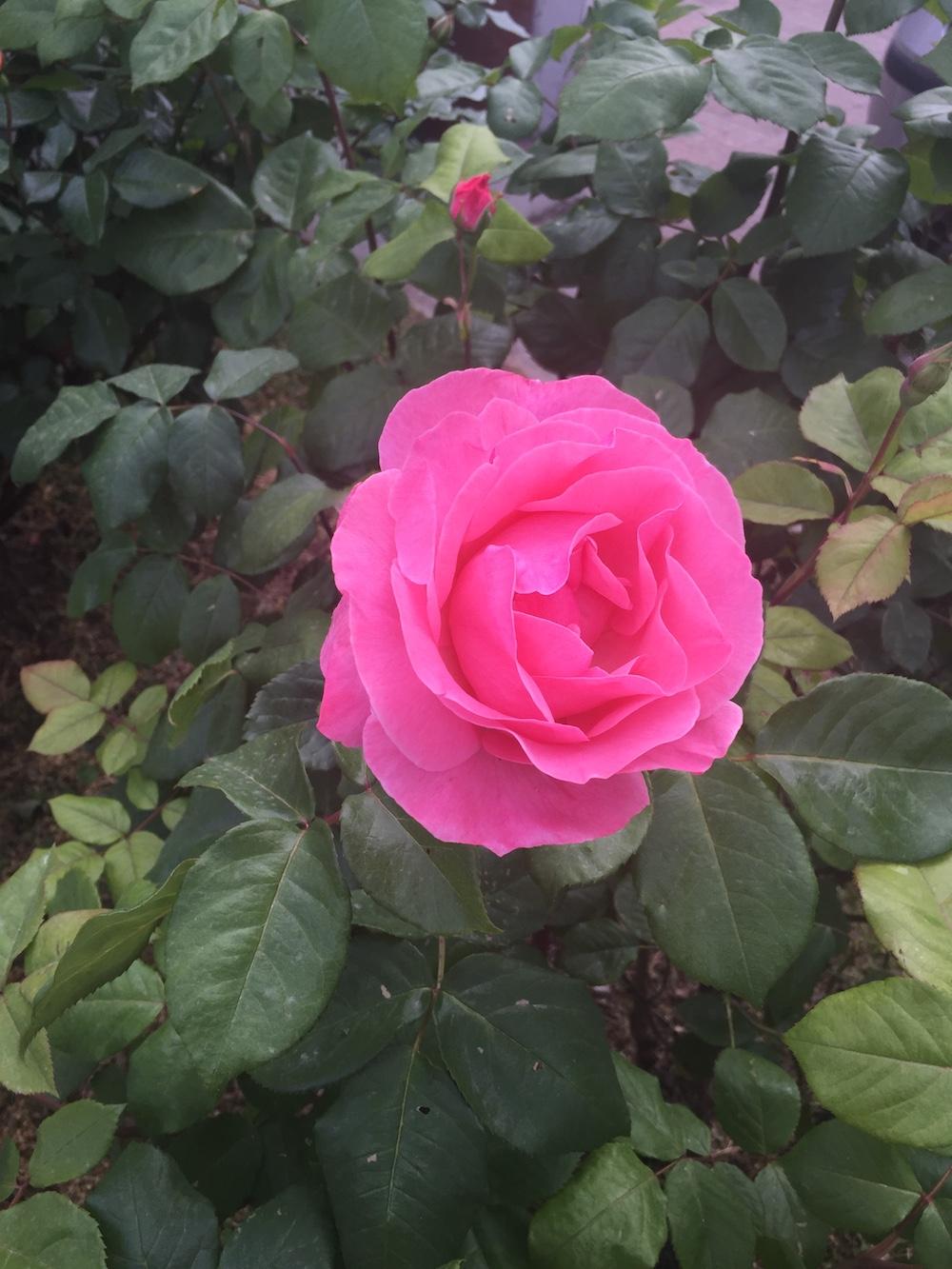 rosa fiorgialli zoncole palma silvestri isola del giglio giglionews
