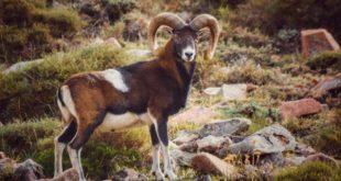 sterminio mufloni parco isola del giglio giglionews