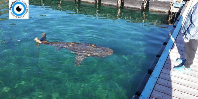 tronco presenza squalo isola del giglio porto giglionews