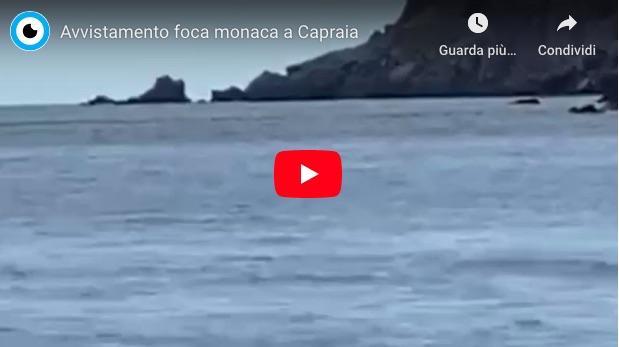 foca monaca capraia parco arcipelago toscano isola del giglio giglionews